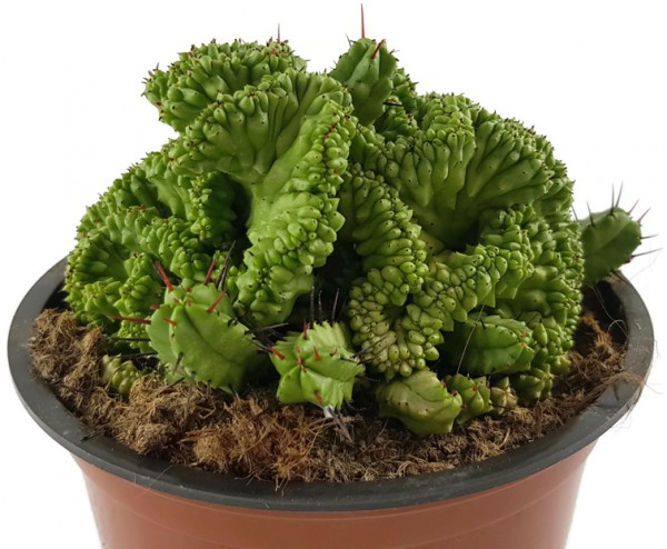 Euphorbia enopla crestata - Euphorbie