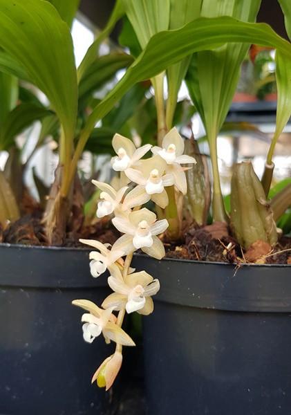 Pholidota chinensis - Orchidee