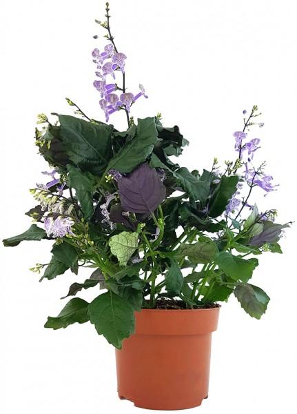 Plectranthus 'Mona Lavender' - bienenfreundlicher Halbstrauch