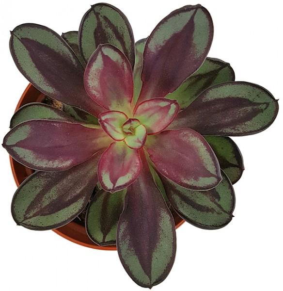 Echeveria nodulosa - Dickblatt