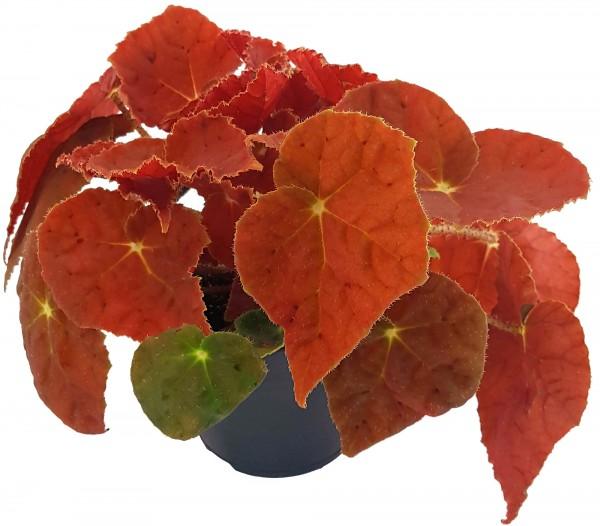 "Begonia ""Kupfer"" - Begonie"