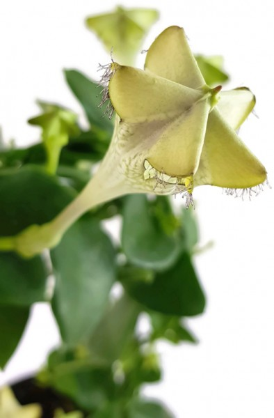 """Ceropegia sandersonii Hybride """"Monteroie"""" - Leuchterblume"""