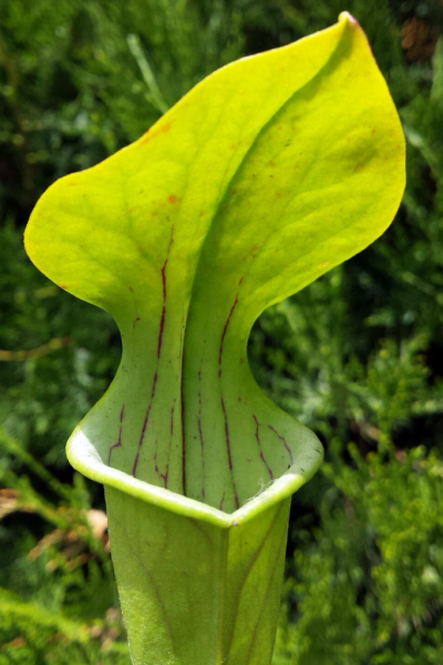 Sarracenia Oreophila Centre Alabama