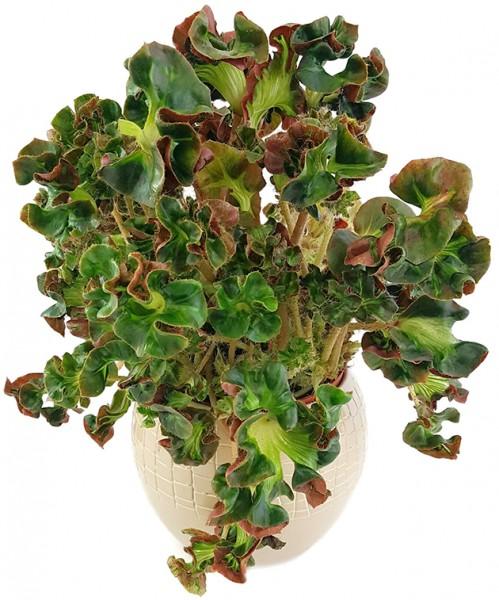 Begonia blad 'Cathedral' - Begonie