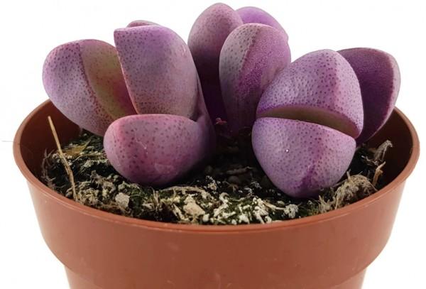 pleiospilos royal Flush lebender stein rarität selten kaktus