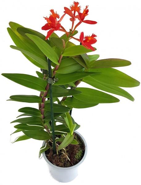 Epidendrum radicans - karmesinrote Schmetterlingsorchidee