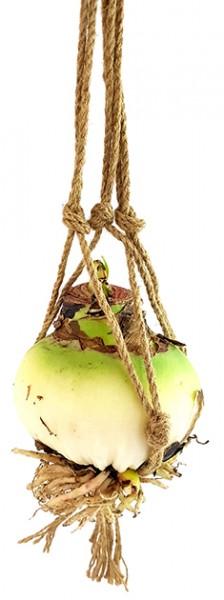 Amaryllis 'Air Bulb' - schwebender Ritterstern