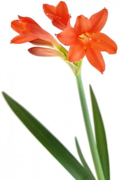 Cyrtanthus montanus - Blumenzwiebel