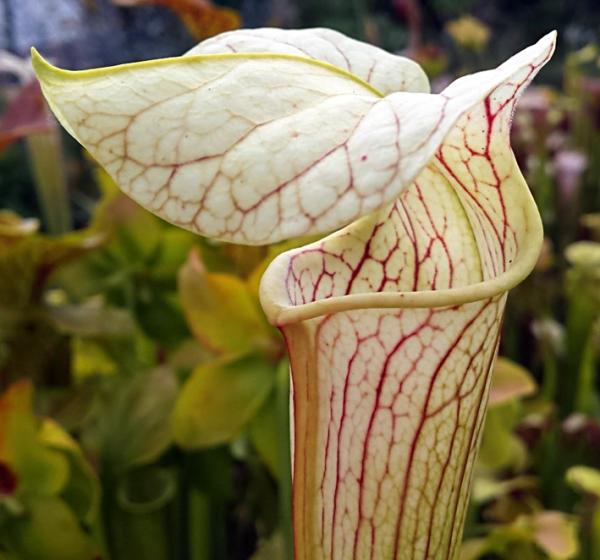 Sarracenia X Areolata 'Giant' SX102 CA