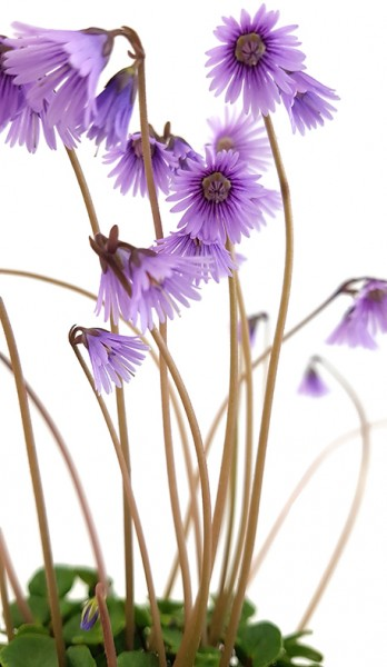 Soldanella 'Spring Symphony' - Alpenglöckchen