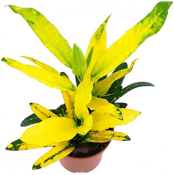 Codiaeum Croton 'Sunny Star' - strahlender Wunderstrauch