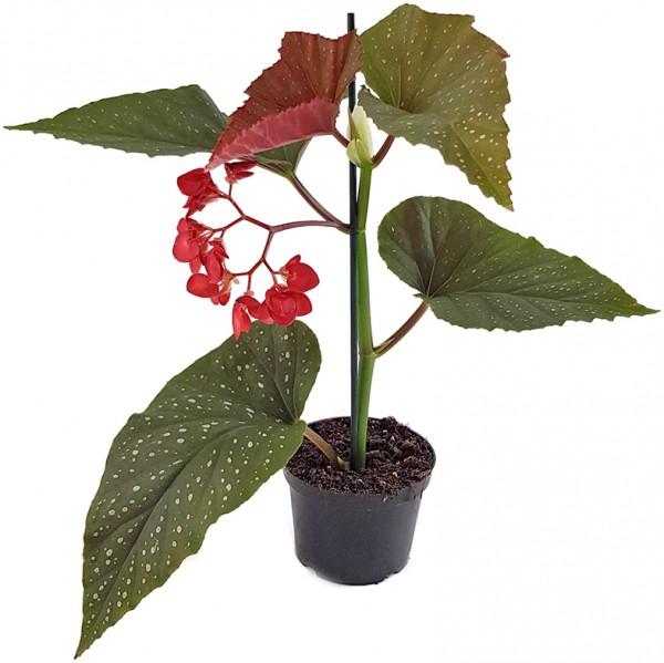 Begonia Corallina - Korallenbegonie