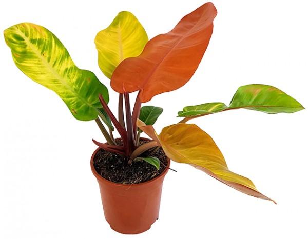 Philodendron 'Prince of Orange' - herbstlicher Baumfreund
