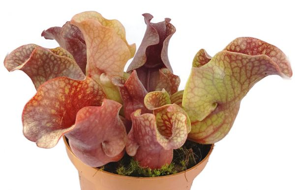 Sarracenia Purpurea ssp. Venosa 'Big Red Form' Klon 4