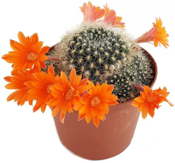 Rebutia flavistyla - orange Blüten