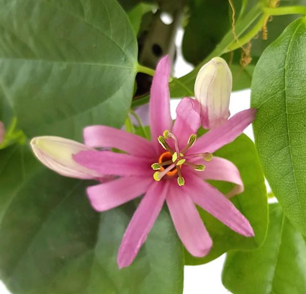 Passiflora tulae - lila farbene Passionsblume