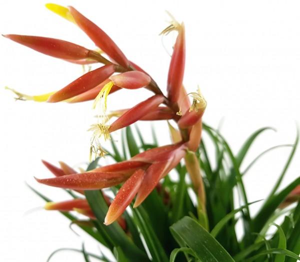 Vriesea Multiflower 'Carrera' - Bromelie