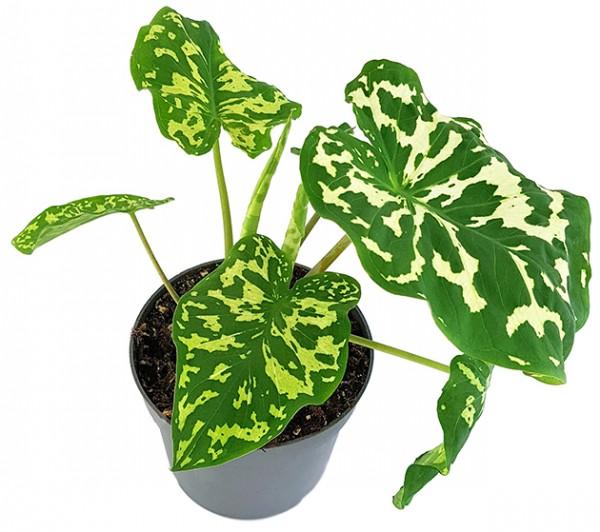 Colocasia esculenta 'Hilo Beauty' - neuartige Taropflanze
