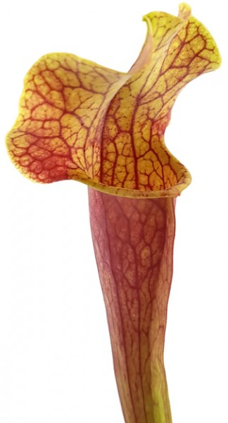 Sarracenia Moorei X Mitchelliana