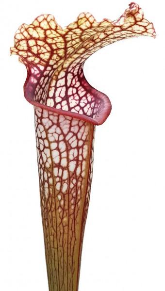 Sarracenia Moorei X Leucophylla 'Marston Select'