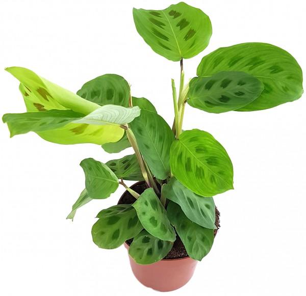 Maranta kerchoveana - grüner Pfeilwurz