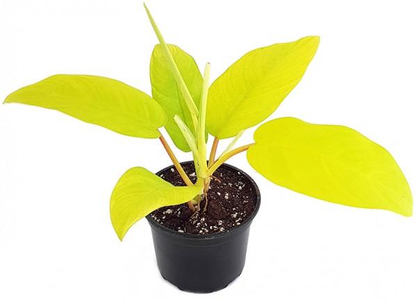 Philodendron Lemon Lime - leuchtend gelber Baumfreund