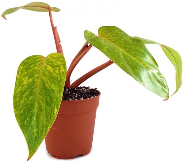 philodendron painted lady gelbe blätter kletterpflanze rankpflanze zimmerpflanze selten rar rarität kaufen bestellen zierpflanze seltenheit baumfreund