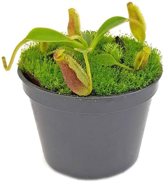 Nepenthes lowii Trusmadi x lowii Mulu - seedgrown