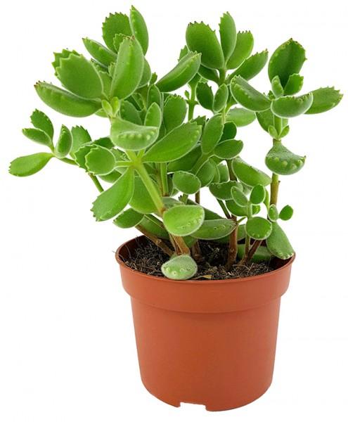 Cotyledon ladismithiensis green - Sukkulente