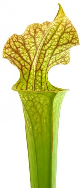 Sarracenia X Moorei Classic - Fangblatt