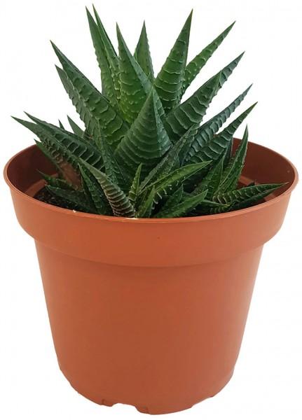 Haworthia limifolia - gekerbte Sukkulente