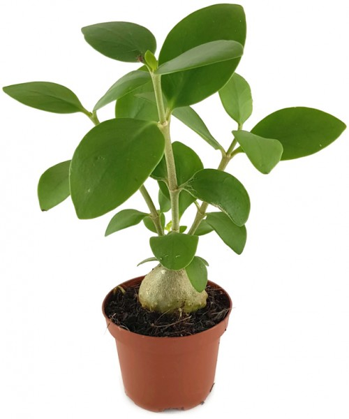Hydnophytum papuanum - Ameisenpflanze Samen