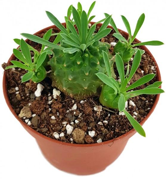 Euphorbia bupleurifolia x susannae - Sukkulente