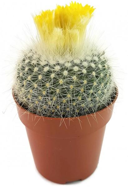 Parodia chrysacanthion - Kaktus Sukkulente selten rar rarität kaufen