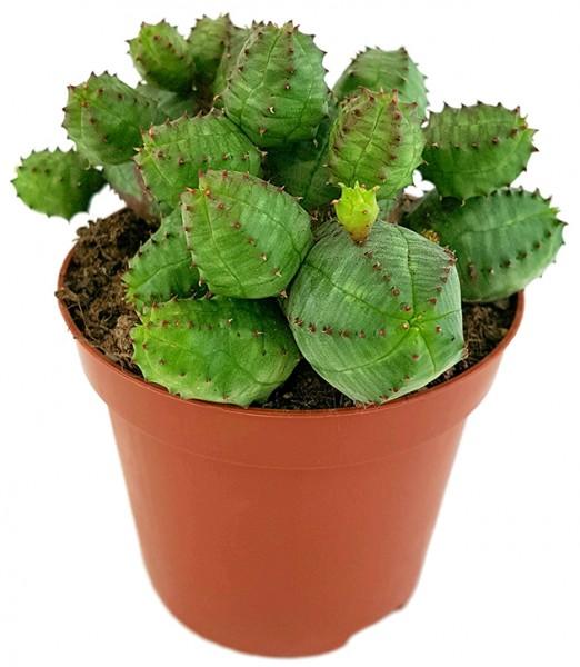 Euphorbia globosa - kugeliges Wolfsmilchgewächs