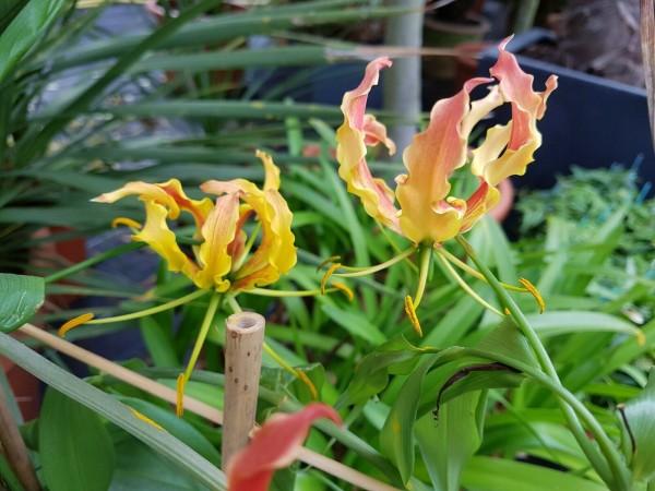 Gloriosa rothschildiana - rot/ gelbe Ruhmeskrone