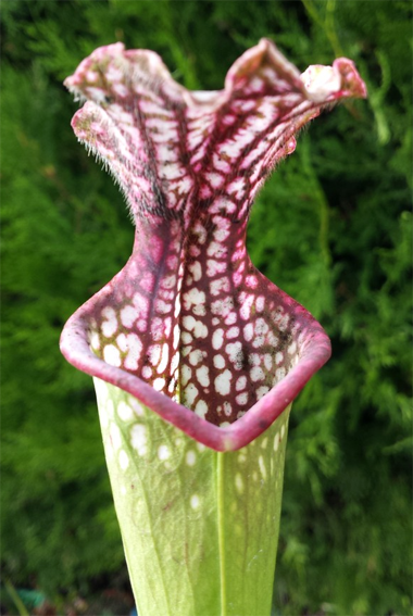 Sarracenia Leucophylla - Large Pink Lipped, Apalachicola FL, MK L18