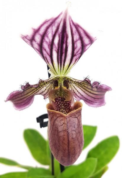 Paphiopedilum 'Maudiae' Hybride - Frauenschuh Orchidee