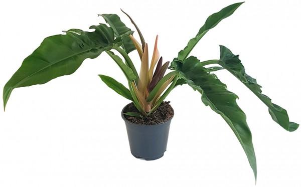 Philodendron 'Narrow Escape' - tiefgrüner Baumfreund