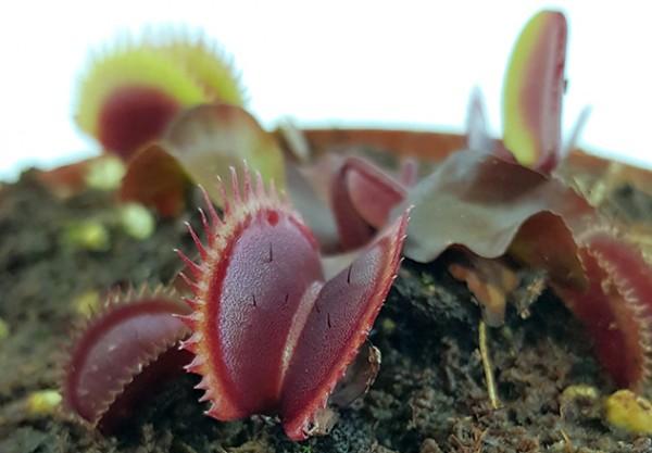 """Dionaea muscipula 'Red Piranha"""""""