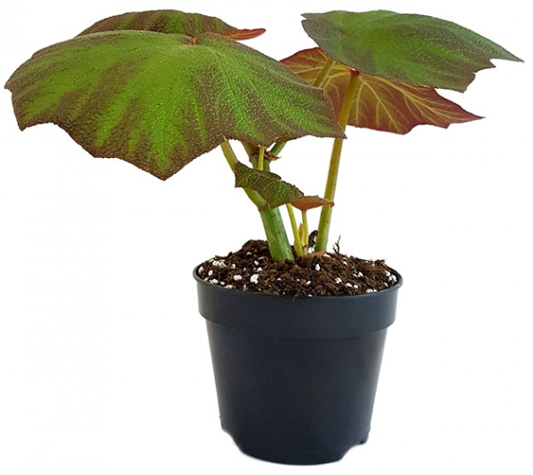 Begonia 'Boomer' - Blattschmuckpflanze