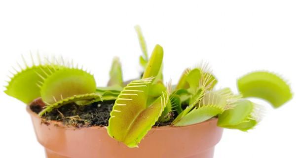 Dionaea Muscipula - Typical