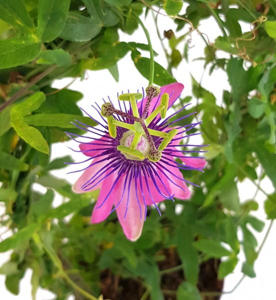 Passiflora Candy - zuckrig pinke Passionsblume