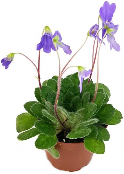 Chirita 'Blue Wonder' - ganzjährige Blütenschönheit
