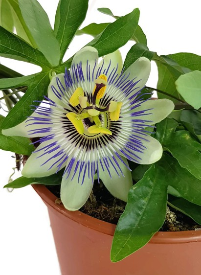 Passiflora caerulea - Passionsblume