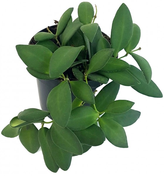 Hoya tsangii - Porzellanblume