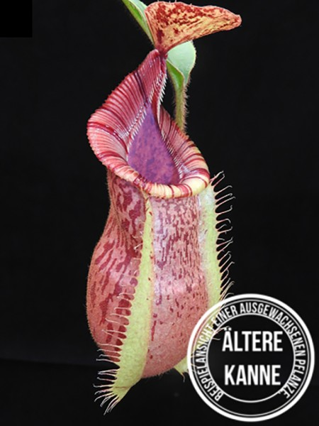 Nepenthes hamata x veitchii BE-3943