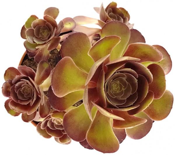 """Aeonium """"Velour"""" - kanarische Rose"""