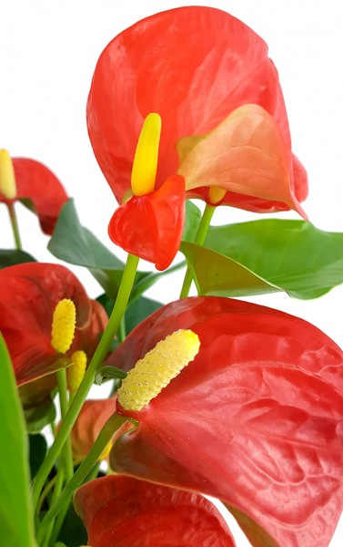 Anthurium 'Orange Champion' - glanzvolle Flamingoblume