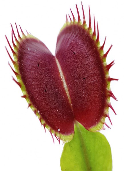 Dionaea Muscipula - 'Colour Selection 1'